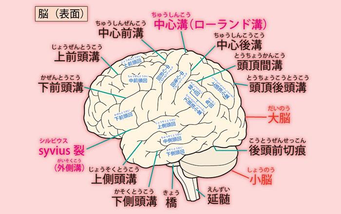 脳部位説明
